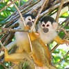 Squirrel Monkeys : Endangered and also very, very cute! Rugged travel and jungle time to get these shots. Enjoy!